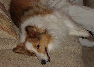 Shetland Sheepdog Leaving Hair on Couch